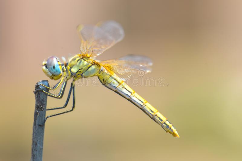 Dragonfly сидя на ручке стоковое фото rf