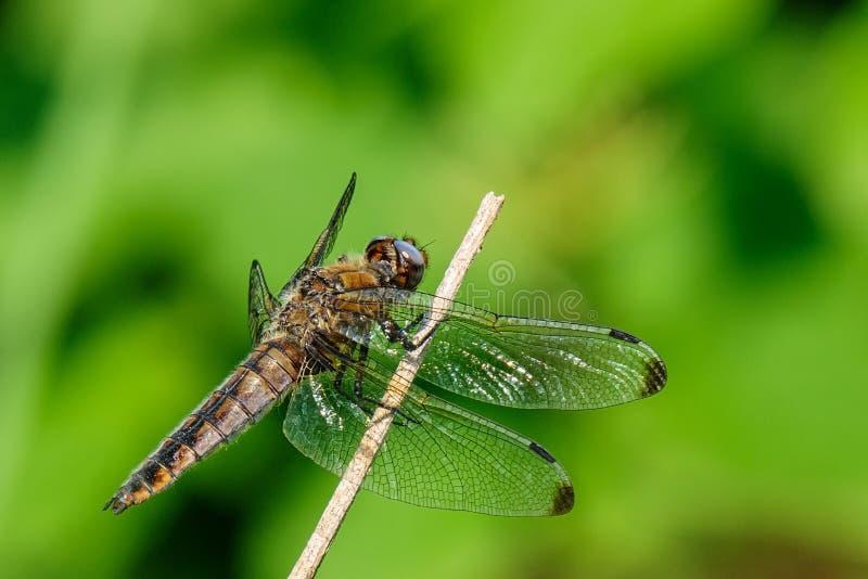 Dragonfly сидя на сухом черенок стоковая фотография rf
