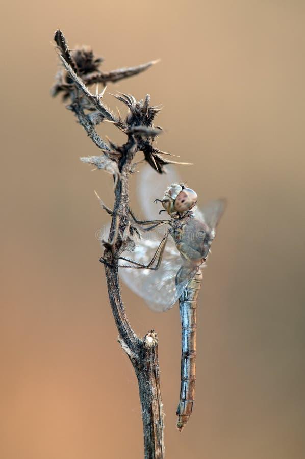 dragonfly сушит свои крылья от росы под первыми лучами солнца перед полетом стоковое изображение rf