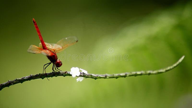 Dragonfly шарлаха стоковая фотография rf