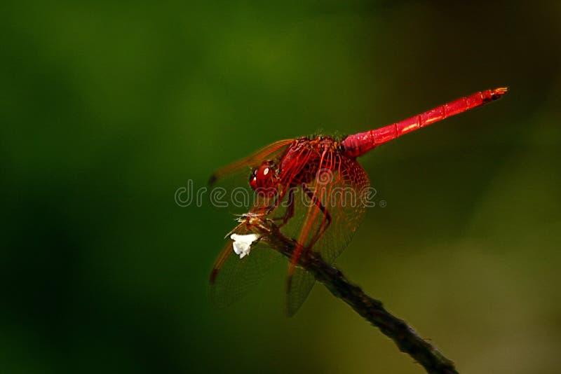 Dragonfly шарлаха стоковые фото
