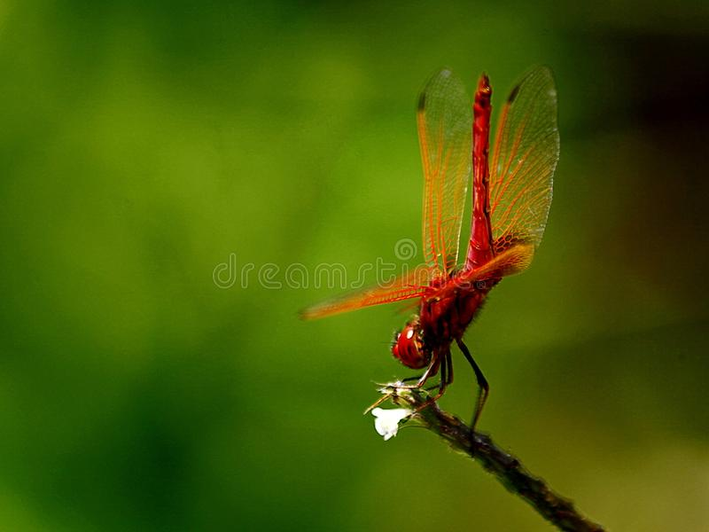 Dragonfly шарлаха стоковые изображения