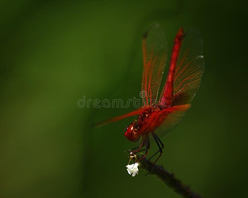 Dragonfly шарлаха стоковое фото