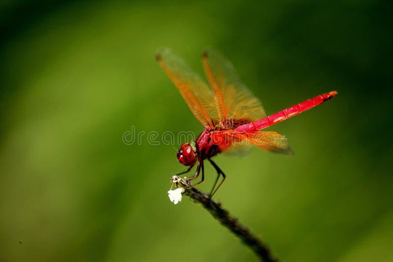 Dragonfly шарлаха стоковая фотография