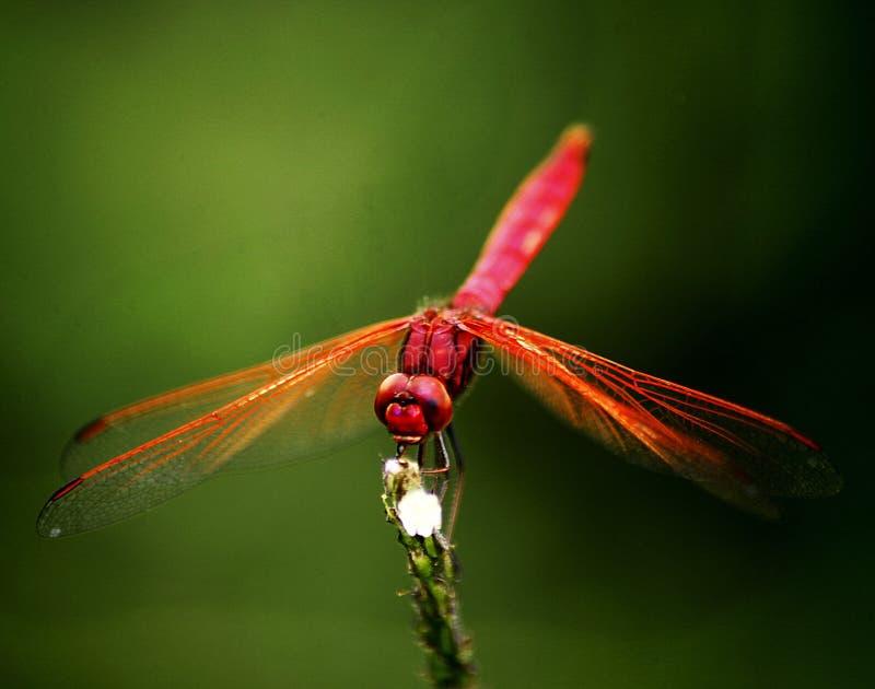 Dragonfly шарлаха стоковое изображение
