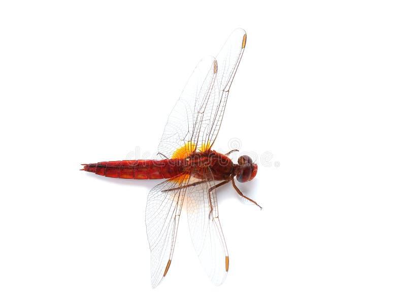 Download Dragonfly шарлаха (erythraea Crocothemis) изолированный на белизне Стоковое Фото - изображение насчитывающей хищник, насекомое: 41656878