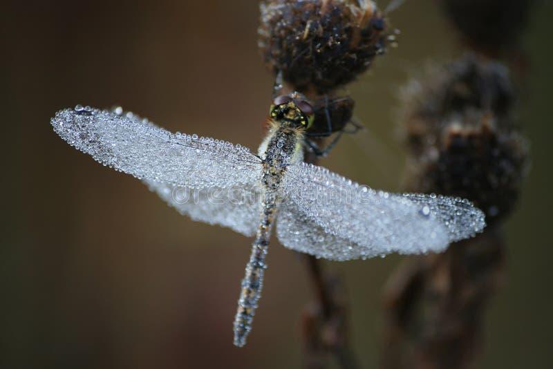 Dragonfly_1 foto de archivo