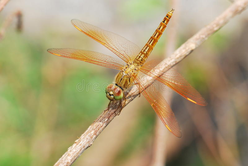 The dragonfly stock photos