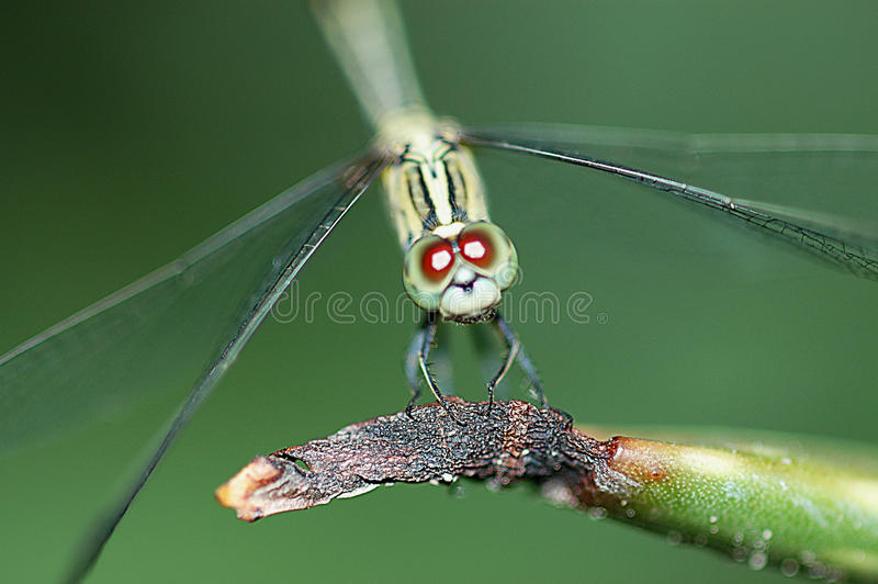 DRAGONFLY. Standing Dragonflies and green background stock photo