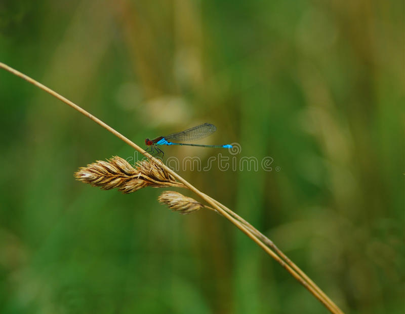 Download Dragonfly stock image. Image of plant, grass, water, natural - 10936473