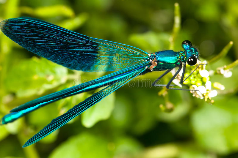 dragonfly obrazy stock