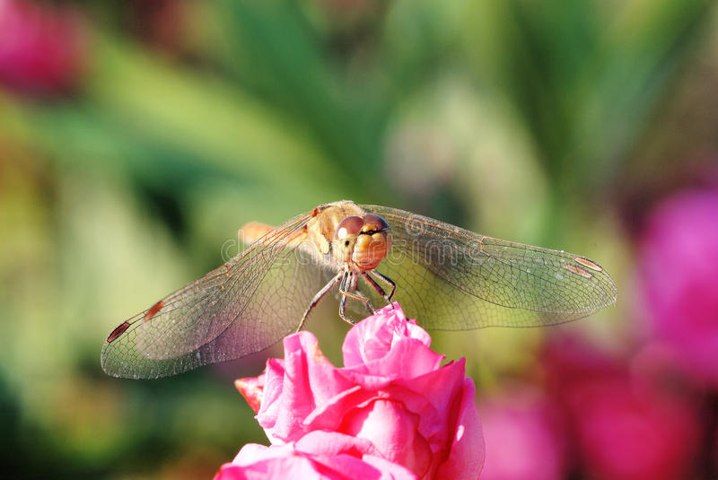 Download Dragonfly Stock Photos - Image: 11585483