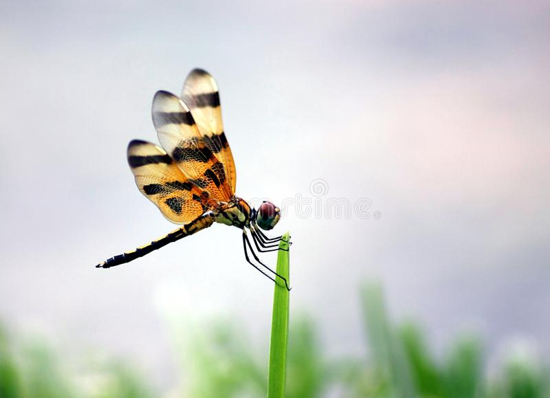 Download Dragonfly stock image. Image of background, nature, insect - 15178737