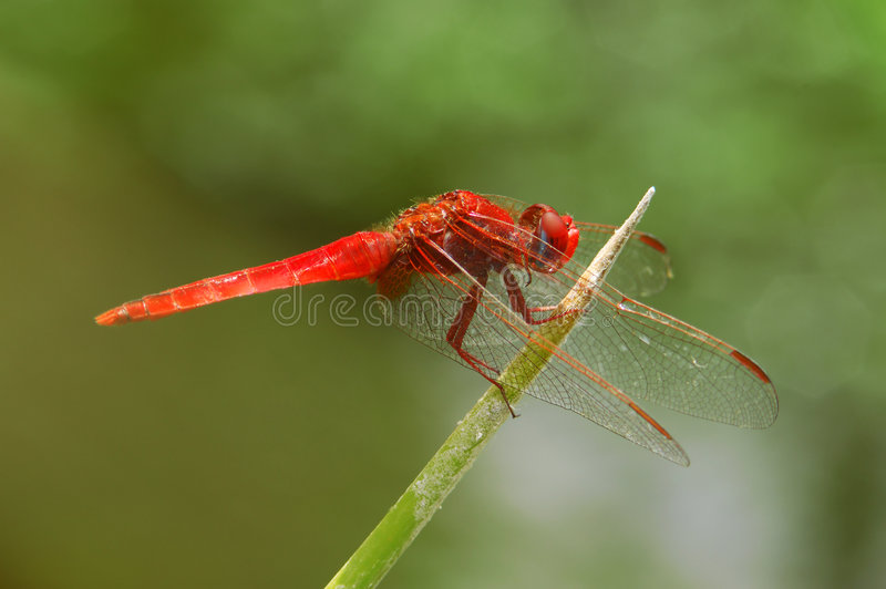 Download Dragonfly stock photo. Image of wing, eyes, pond, macro - 154100