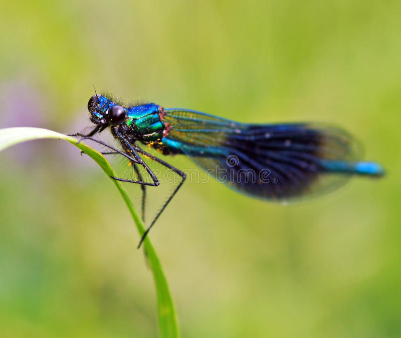 Download Dragonfly Royalty Free Stock Photo - Image: 15583665