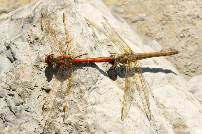 Download Dragonfly zdjęcie stock. Obraz złożonej z kopuluje, igła - 16434692