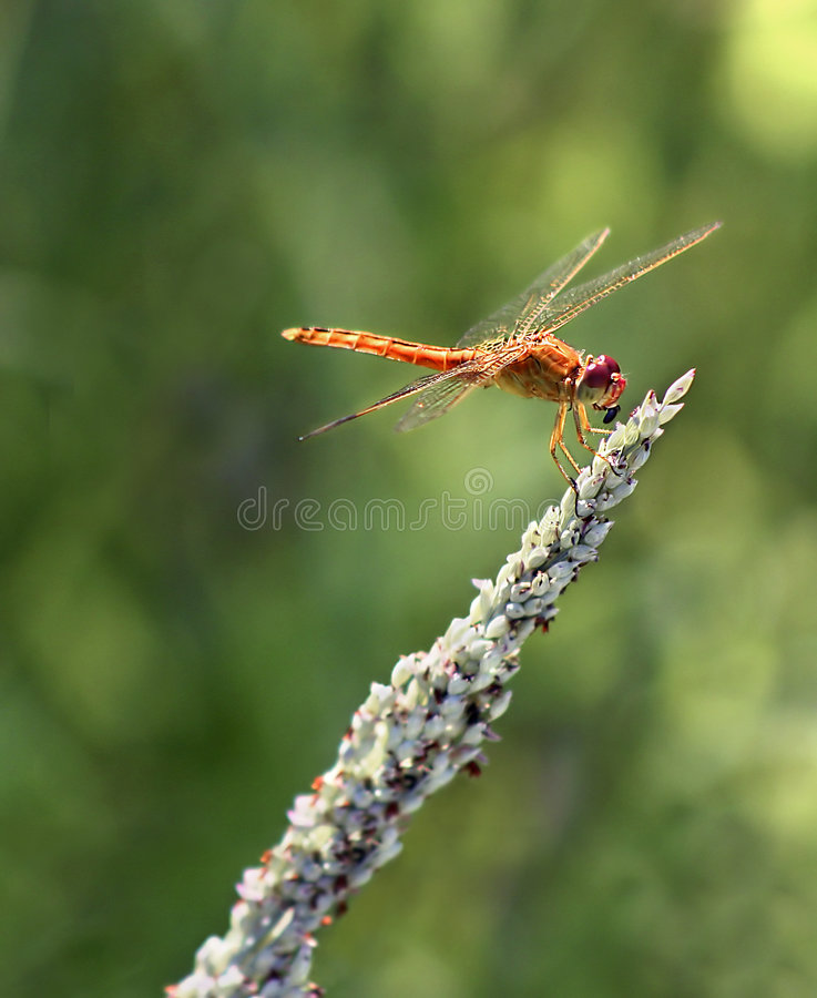 Download Dragonfly Stock Photos - Image: 1711403