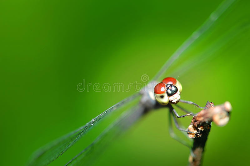 Download Dragonfly Stock Images - Image: 17375724