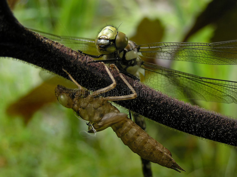 Download Dragonfly stock image. Image of molting, larva, emerging - 176391