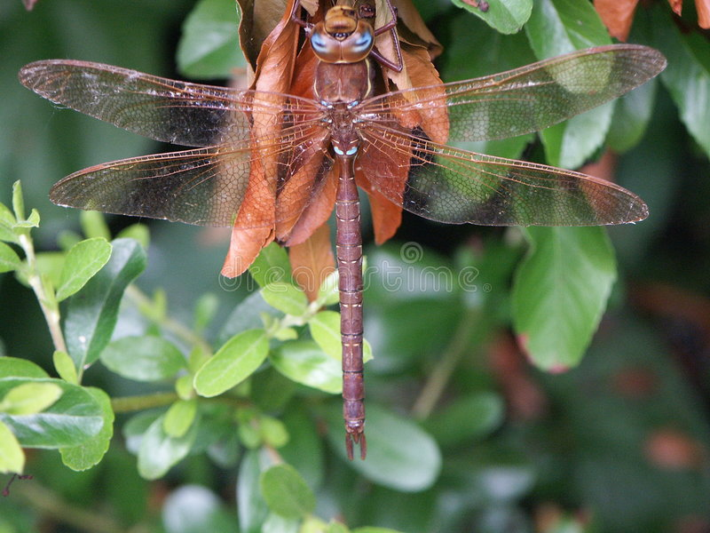 Download Dragonfly stock image. Image of humming, resting, buzzing - 189309