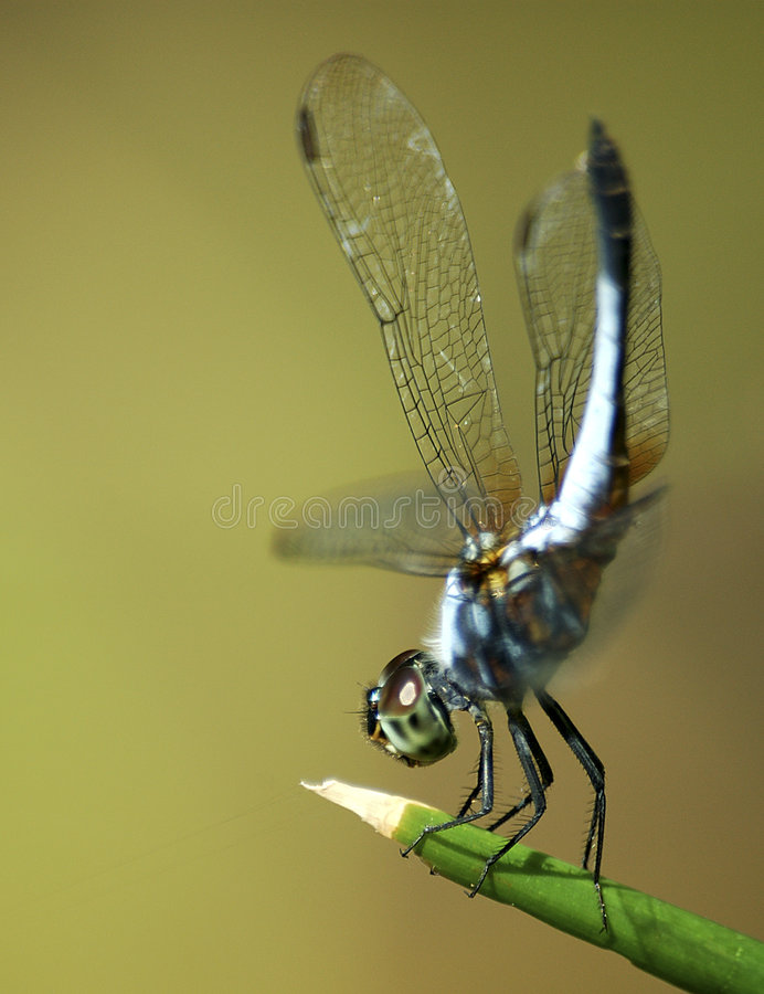 Dragonfly 2 royalty free stock photography