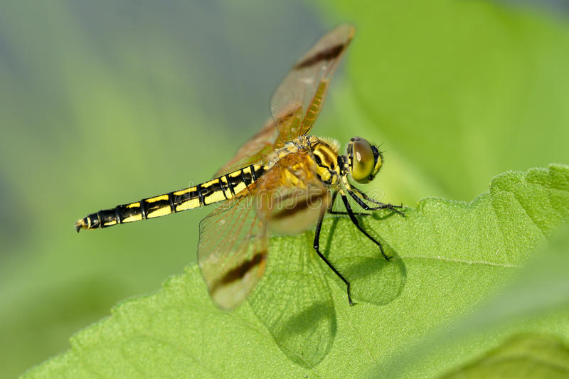 Download Dragonfly stock image. Image of insects, insect, wing - 20097483
