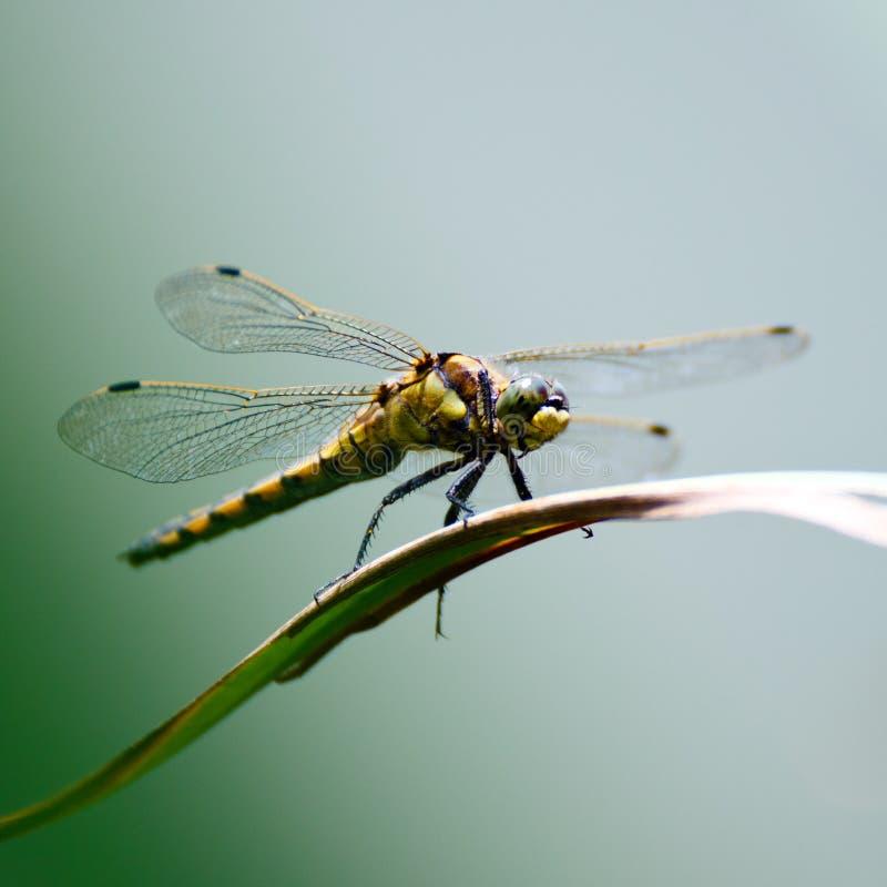 Dragonfly. Big dragonfly sitting on leaf stock images