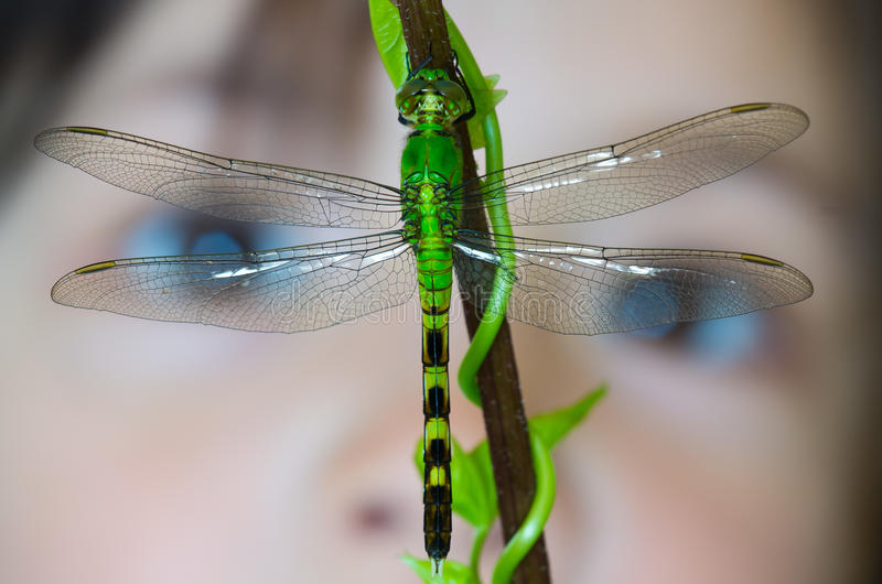 Download Dragonfly stock image. Image of caucasian, nature, science - 20422315