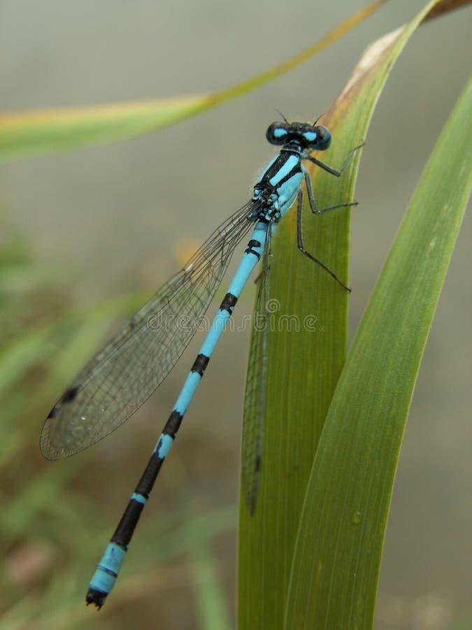 Free Dragonfly Royalty Free Stock Photos - 2245518