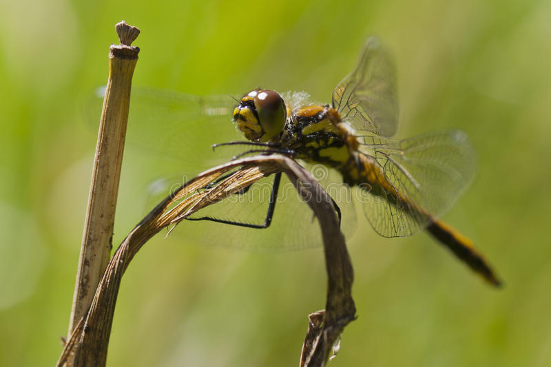 Download Dragonfly stock image. Image of diagonal, wing, grass - 24526545