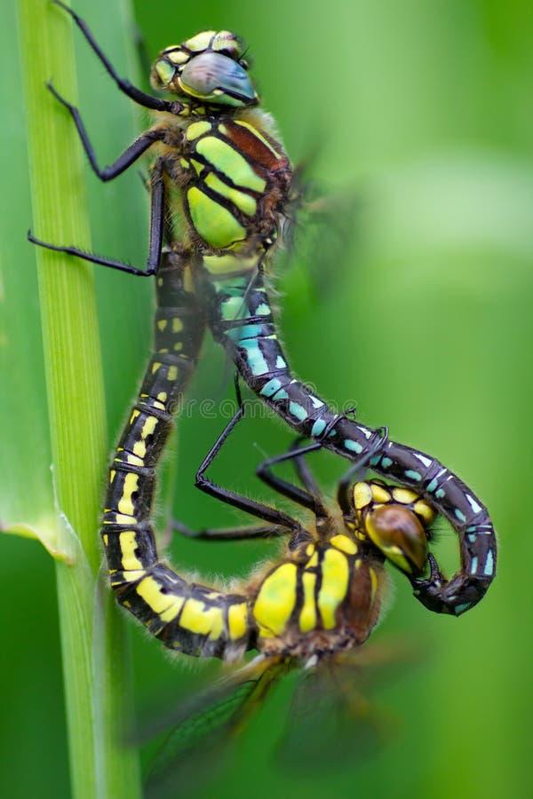 Download Dragonfly stock photo. Image of detail, cyathigerum, enallagma - 25983060