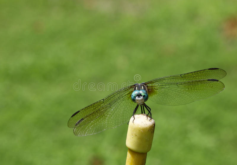 Download Dragonfly stock image. Image of daytime, head, daylight - 26097733