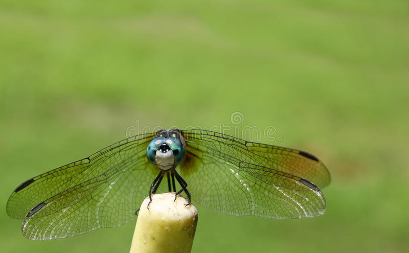 Download Dragonfly stock image. Image of insecta, gray, feet, grey - 26102701