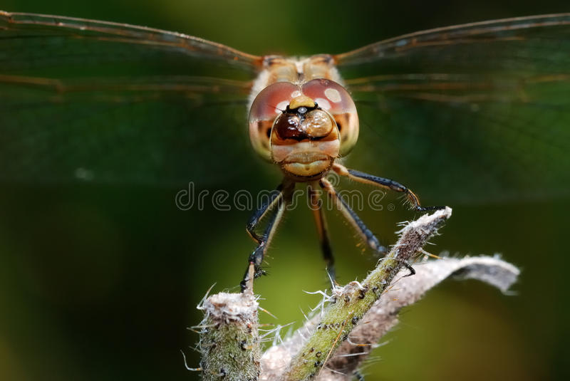 Download Dragonfly stock image. Image of dragon, nature, cecilia - 26189315