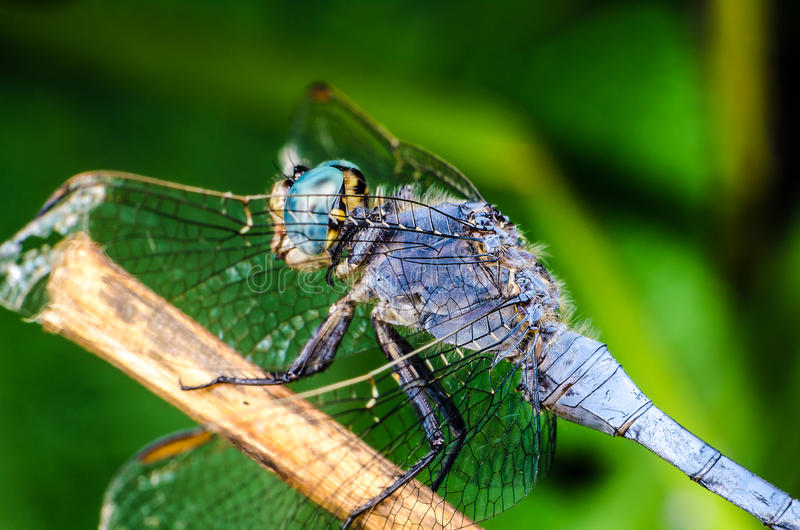 Download Dragonfly stock image. Image of predator, closeup, life - 26521475