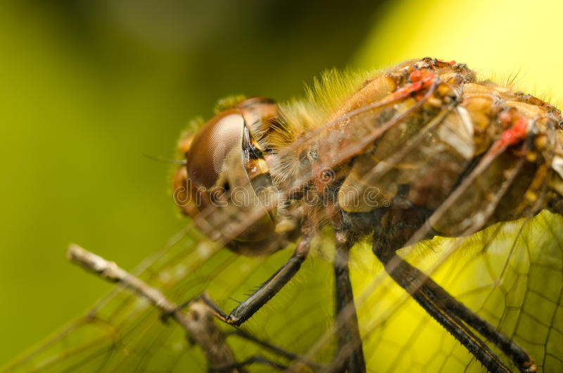 Download Dragonfly stock photo. Image of annoyed, extreme, creatures - 27271128