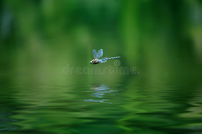 Dragonfly. Reflection of dragonfly hovering over lake water royalty free stock image
