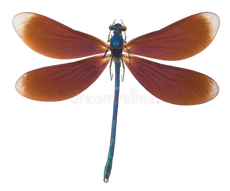 Download Dragonfly stock image. Image of isolated, wing, animals - 3464335