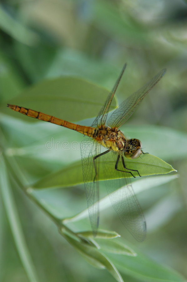 Free Dragonfly Stock Image - 363051