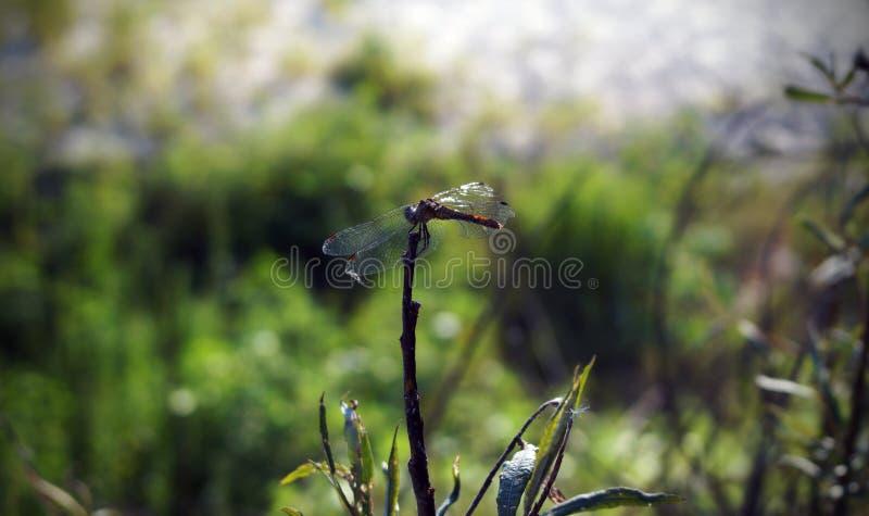 Dragonfly obraz royalty free
