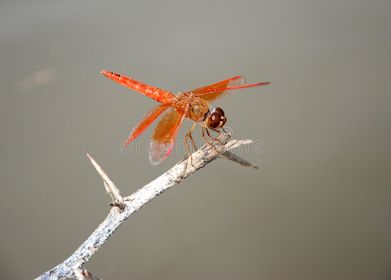 Download Dragonfly stock photo. Image of outdoor, body, compound - 4614964