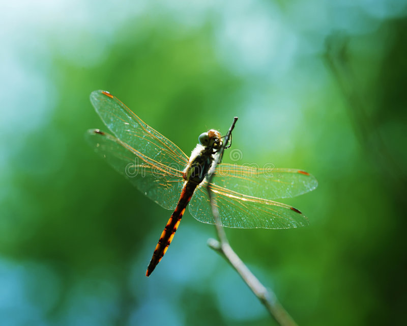 Download Dragonfly stock photo. Image of view, insect, long, artistic - 4650470