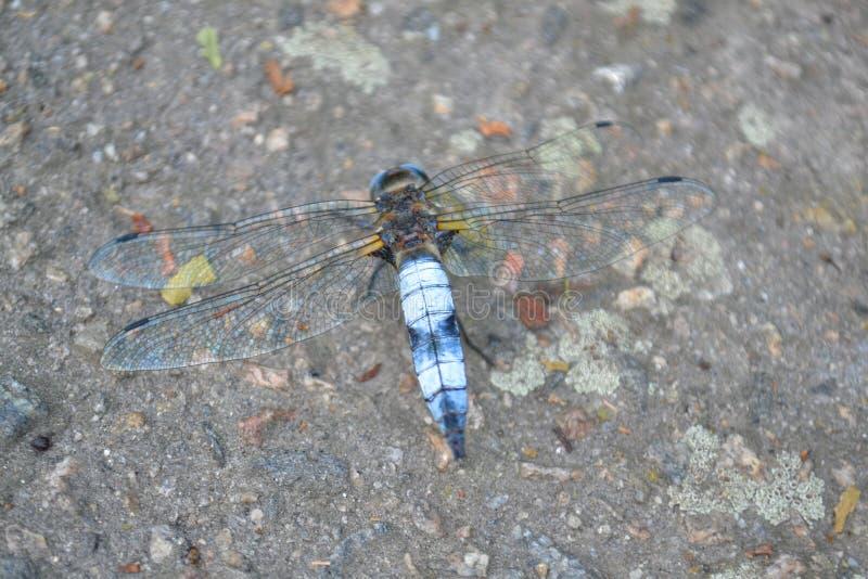 Download Dragonfly obraz stock. Obraz złożonej z błękitny, natura - 53779597