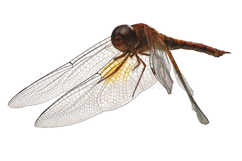 Download Dragonfly stock image. Image of details, sharp, long, skimmers - 5588145