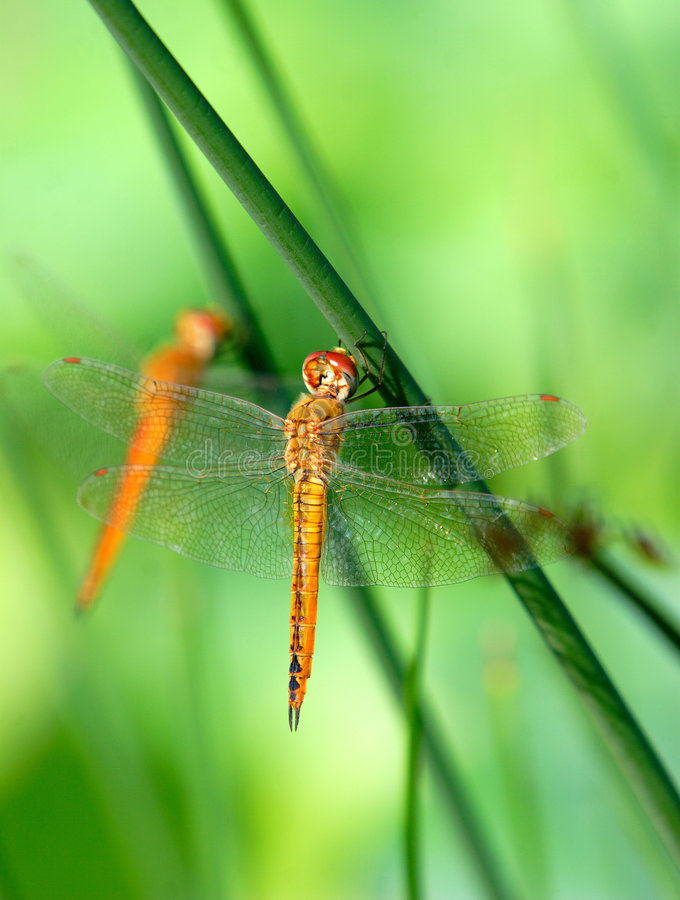 Free Dragonfly Stock Photo - 5659910