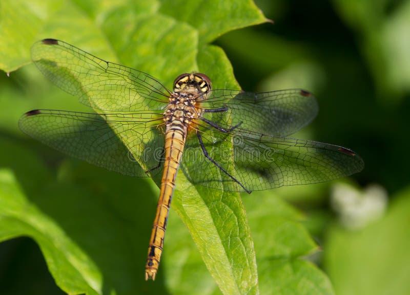 Download Dragonfly obraz stock. Obraz złożonej z insekt, zwierzę - 57658077
