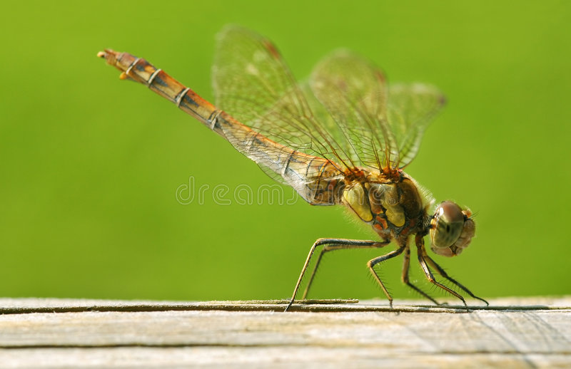 Download Dragonfly stock photo. Image of animals, damselfly, close - 6491670