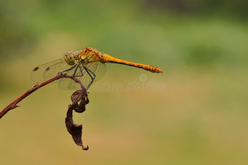 Dragonfly zdjęcie stock
