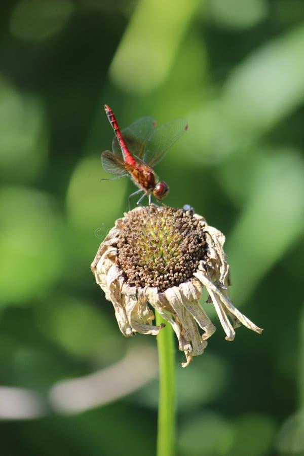 Dragonfly fotografia stock
