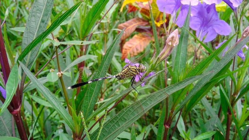 Dragonfly above green leaves. Garden, flower stock photo